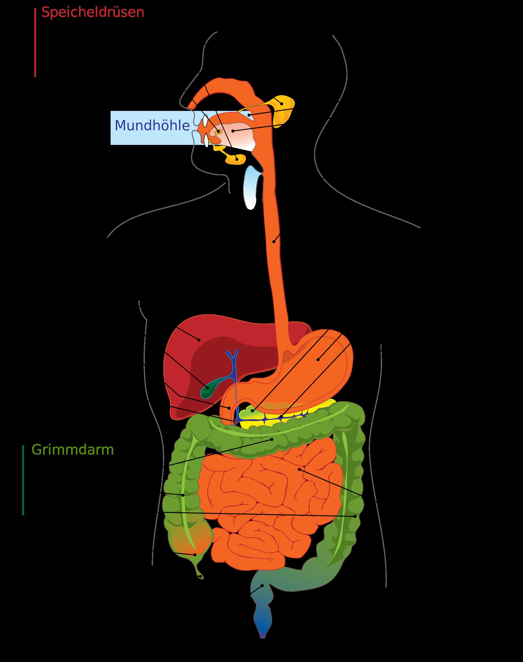 Ziemlich Teile Des Verdauungssystems Bilder - Menschliche Anatomie ...